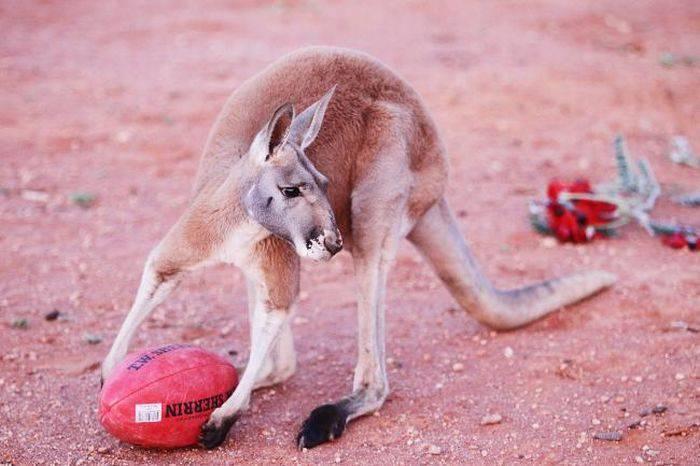 Udomowiony kangur 3