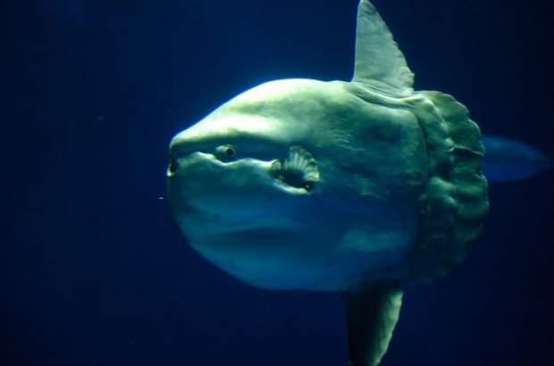 Samogłów - największa ryba kostnoszkieletowa 8