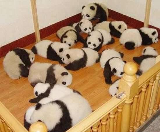 Małe pandy 7