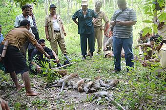 151061675d3996a0b32de348f8fc277114fd076d Untuk Mengurangi Kesusahan Petani 50 Monyet DIbantai di Padang Bolak
