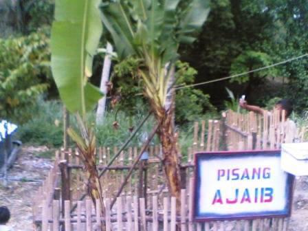 678175781f8a48bfd14ca14df6dcf070ec0589d Pohon pisang bertandan 4 di Sayur Matinggi